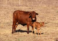 Source: A.R.M.O.R.Y. - Cow and calf [ 69.54 Kb ]
