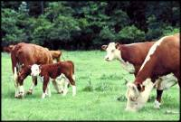Source: www.animalphotolibrary.com - Grazing cows [ 29.49 Kb ]