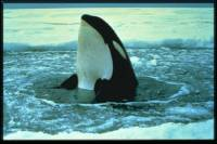 Source: www.animalphotolibrary.com - Orca [ 40.68 Kb ]