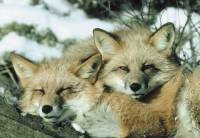 Source: Dr Hadwen Trust - foxes [ 41.22 Kb ]