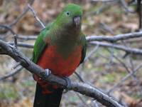 King parrot - copyright Ray Drew [ 36.84 Kb ]