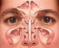 Sinuses - source: www.thriftyfun.com/tf379313.tip.html
