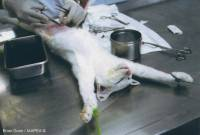 Surgical procedure during an experiment on a cat - copyright: Brian Gunn, source www.animalexperimentspictures.com [ 297.42 Kb ]
