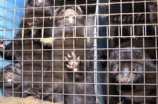 Belgium Against Fur Farming, Photo: Animal Rights NL / BE [ 169.62 Kb ]