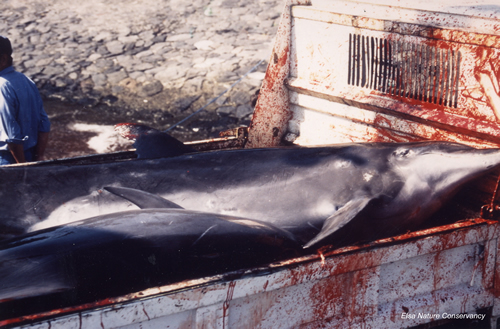 Japan dolphin slaughter 2