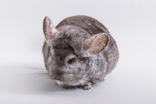 chinchilla Chili [ 133.56 Kb ]