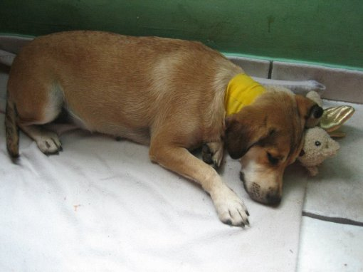 dog Mala - recovering after operation [ 80.58 Kb ]