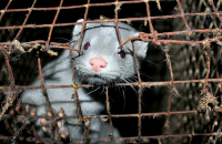 Mink in fur farming [ 724.39 Kb ]